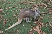 11-28-09 Kangaroo CU