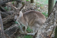 11-28-09 Kangaroo in trees