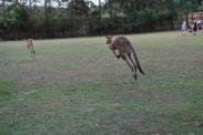 11-28-09 Kangaroos split