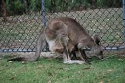 11-28-09 Mama kangaroo, joey in pouch
