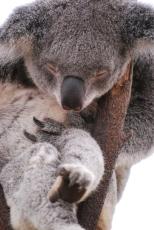 11-28-09 Sleeping koala 1