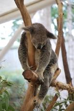 11-28-09 Sleeping koala 2