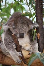 11-28-09 Sleeping koala 3