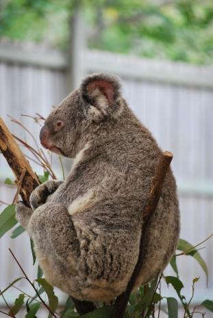 11-28-09 Sleeping koala 4