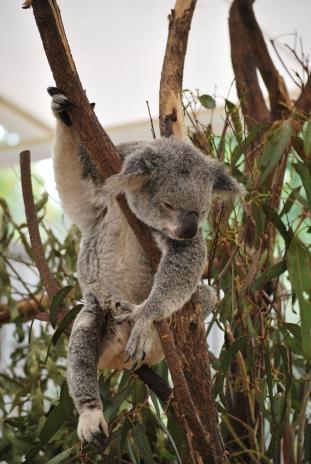 11-28-09 Sleeping koala 5