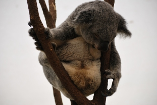 11-28-09 Sleeping koala 6