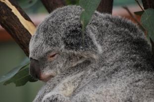 11-28-09 Sleeping koala 7