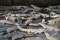 11-29-09 Croc feeding time CU