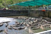 11-29-09 Croc feeding time