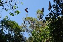 12-1-09 Fruit bats fly