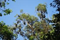 12-1-09 Fruit bats in trees