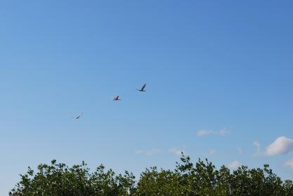 12-19-10 Roseate Spoonbill in flight