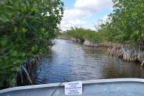 12-19-10 Whisking through mangrove