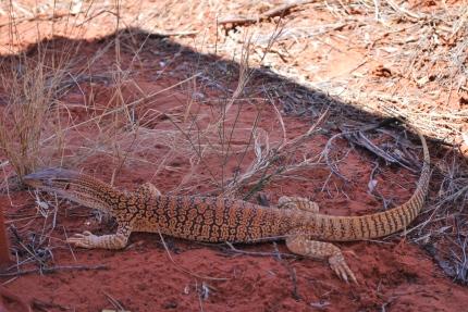12-2-09 Lizard CU