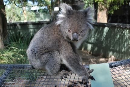 12-4-09 Koala awake