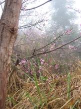 3-30 Cherry blossom trees
