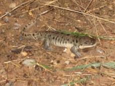 7-22 Large salamandar cropped