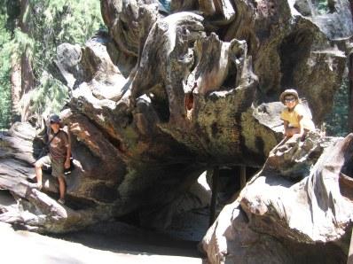 7-26 Boys Sequoia roots