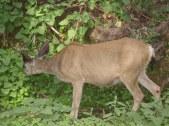 7-26 Mule deer eating