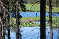 8-14-10 Beaver dam trees