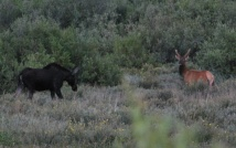 8-14-10 Female moose male mule deer cropped