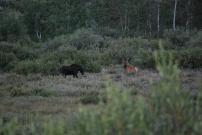 8-14-10 Female moose male mule deer