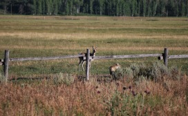 8-14-10 Male proghorn confronts coyote cropped
