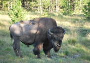 8-10-10 Single bison bull cropped