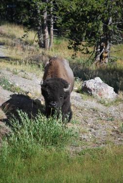 8-11-10 Roadside bison CU