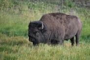 8-12-10 Bison CU cropped