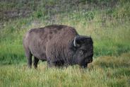 8-12-10 Bison CU