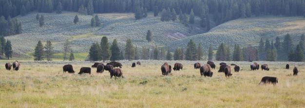 8-12-10 Bison herd Hayden Valley cropped