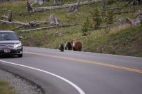 8-12-10 Grizzly bear & cubs across