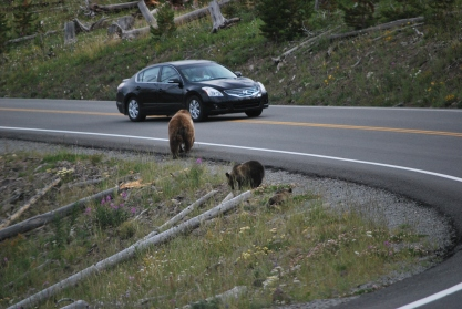 8-12-10 Grizzly bear & two cubs car