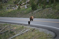 8-12-10 Grizzly bear & two cubs crossing