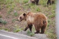8-12-10 Grizzly mother CU