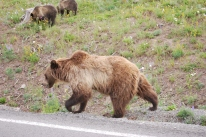 8-12-10 Grizzly mother & cubs
