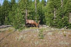 8-12-10 Male mule deer