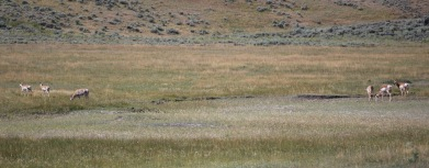 8-12-10 Six pronghorns Lamar Valley cropped
