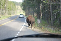 8-12-10 Wrong way bison