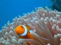 Anemone with Clownfish
