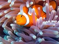 Clownfish with Anemone