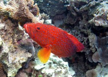 Coral Rockcod