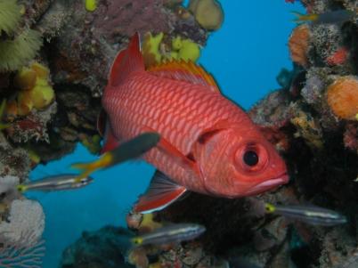 Crimson Soldierfish
