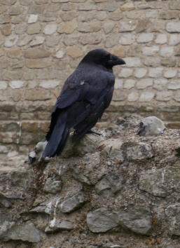 There are 6 ravens at the Tower of London. Legend says if the ravens leave, the Tower will crumble.