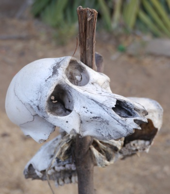 Baboon skulls. If you want to marry in the Hadzabe tribe, the man gives the bride's father a baboon kill.