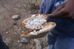 This is the fruit from the Baobab tree. If you suck on the seeds, it tastes a bit citrusy.