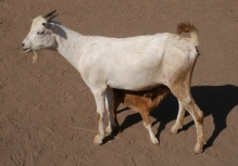 Kid with mother goat