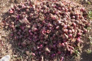 Many of the villagers in Lake Eyasi grow red onions.