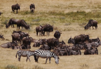Zebras and wildebeests are often found together.
